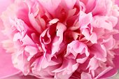 Pink peony close-up