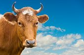 Head Of Cow Over Blue Sky