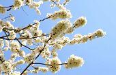 Prunus cerasifera flowers