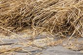 Cereals At A Threshing Floor