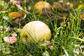 Autumn Apple Fallen In The Grass