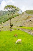 Machu Picchu, Peru - llamas in ruins