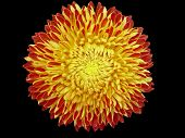 Yellow And Orange Chrysanthemum Flower