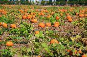 Pumpkins going on a Pumpkin farm