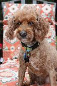 image of poodle  - a blind poodle dog poodles are loved my millions around the world - JPG