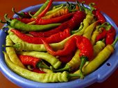 fresh harvested giant hot chili peppers preparing for pickling