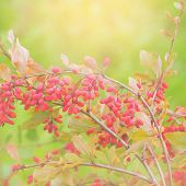 picture of barberry  - Close up of the barberry - Berberis amurensis.