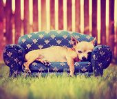 picture of couch  - a cute chihuahua laying on a couch toned with a retro vintage instagram filter - JPG