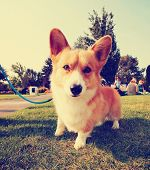 a cute dog in the grass at a park during summer toned with a retro vintage instagram filter effect