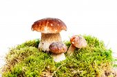 Three mushrooms Boletus edulis - porcino - growing in the moss isolated on white background