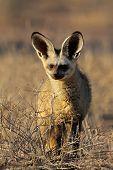 An alert bat-eared fox (Otocyon megalotis), Kalahari desert, South Africa