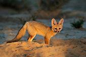 Cape fox (Vulpes chama) outside its den in early morning light, Kalahari desert, South Africa
