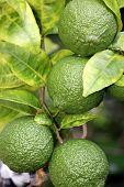 Unripened Lemons on Tree