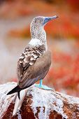 image of booby  - Close up of blue footed booby at Galapagos island of  North Seymour - JPG