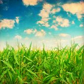 Green corn field in grunge and retro style.