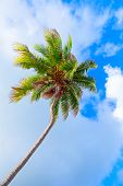Coconut Palm Tree Over Bright Cloudy Sky