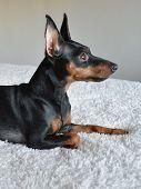 Dog Pinscher