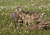 Wolf Puppies in Wildflowers