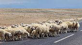 Sheep Goes Asphalt Road