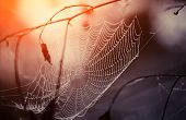 picture of cobweb  - Cobweb in dew drops early in the morning. Cobweb in dew drops at sunrise.