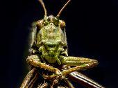 Macro shot of grasshopper on black background