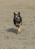 German Shepherd running at the beach