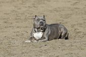 Gray pitbull posed