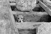 stock photo of shipwreck  - Puppy Jack Russel looking from gap in old shipwreck - JPG
