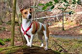 Dog Jack Russell Terier