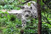 picture of zoo  - Snow Leopard at the Central Park Zoo Manhattan New York USA - JPG