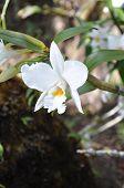 TThe wild white orchid