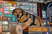 picture of harness  - Old dog with black harness on wooden crate - JPG