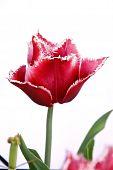 Canasta Tulip