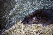 Big Brown Rat