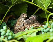 Pardillo común, Morales Cannabina, Carduelis