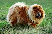 Brown Chow Chow Dog Living In The European City