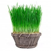 sprouts of green wheat grass on white background. spring