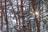 Snowy Trees At Winter Outdoor