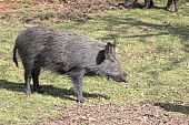pic of wild hog  - Wild boar spotted in the open in a forest clearing - JPG