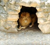 lion lying in the cave