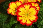 image of primrose  - Small - JPG