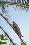 Black kite (Mulvus Migrant) on a palm tree branch, Dakar, Senegal