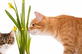 Orange And Grey Cats Sniff Daffodils