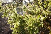 Pine Branch In The Bright Autumn Sun