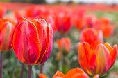 A field of orange tulips