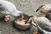 Geese Eating Corn