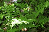Fern Leaves And Bush In The Summer Forest