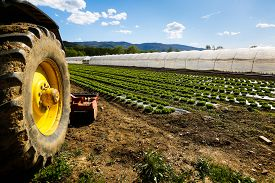 picture of photosynthesis  - Tractor wheel and lettuce farm with greenhouse in background - JPG