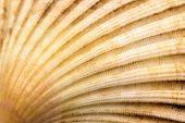 foto of conch  - Closeup of scallop seashell conch - JPG