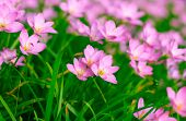 foto of lily  - Beautiful Zephyranthes Lily Rain Lily Fairy Lily Little Witches in the garden - JPG